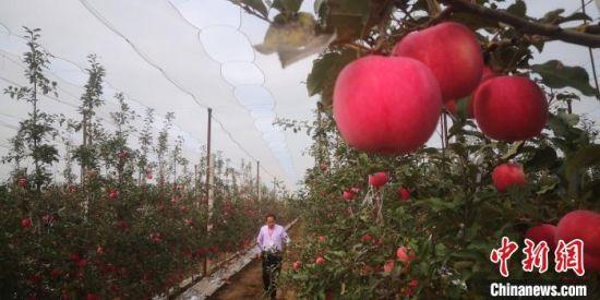图为甘肃平凉多地推广种植的矮化密植苹果。(资料图) 魏建军 摄