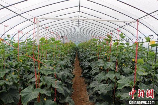 7月中旬,静宁县蔬菜大棚里种植的黄瓜。 卢芳艳 摄