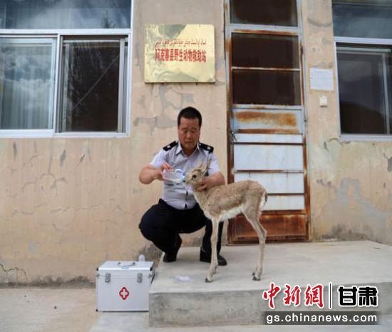目前,救助站工作人员积极为鹅喉羚幼崽进行人工辅助哺乳、饮水、留观等救助措施,待其能进行独立进食时,择时放归大自然。