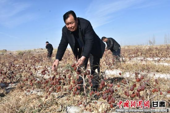 """甘肃戈壁小镇3000亩红枣成熟 成农民的""""摇钱树"""""""