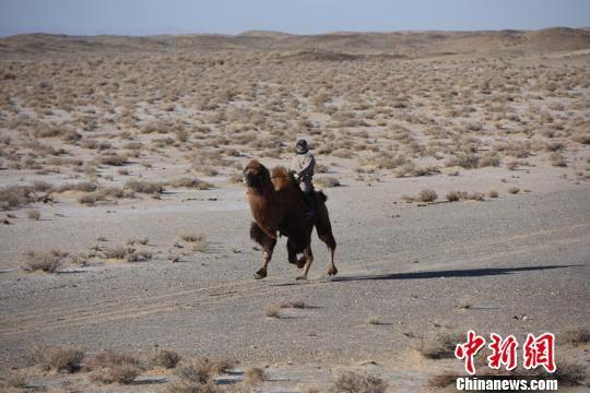 新金沙国际娱乐:甘肃肃北寒冬时节上演激情赛驼