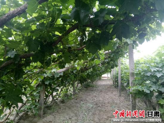 葡萄标准化