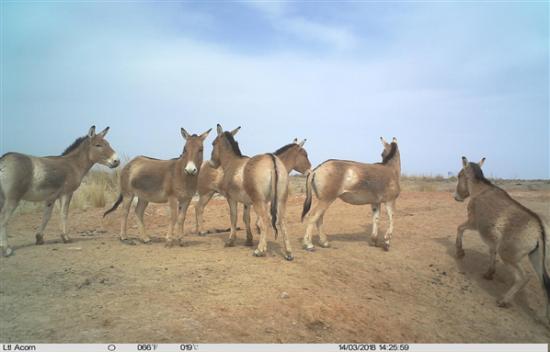 安西自然保护区成为蒙古野驴等野生动物重要栖息地