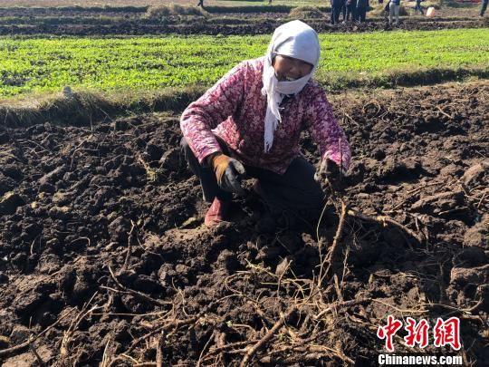 """手机赚钱网""""千年药乡""""里说丰年:产业兴起 贫农增收"""