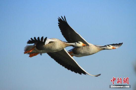 """甘肃戈壁绿洲湿地成鸟类""""乐园"""""""