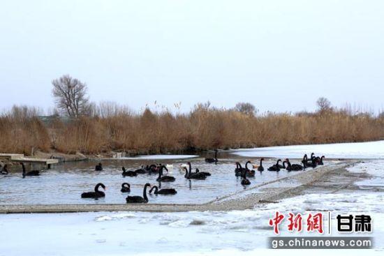 """甘肃张掖戈壁湿地成群天鹅起舞""""迎春"""""""