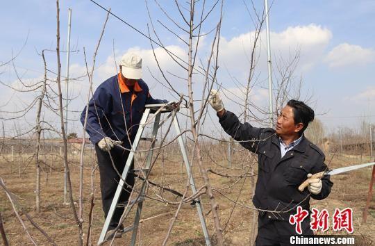 甘肃西峰挂果巧手塑 富裕树 带领村民靠技术 吃饭