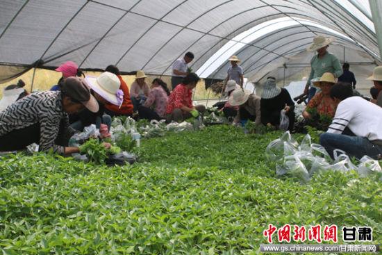图:陇南夏季辣椒种植忙 工人移栽8万株辣椒苗