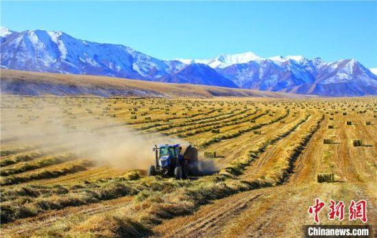 祁连山下21万亩燕麦草翻滚 遍野金黄似风景