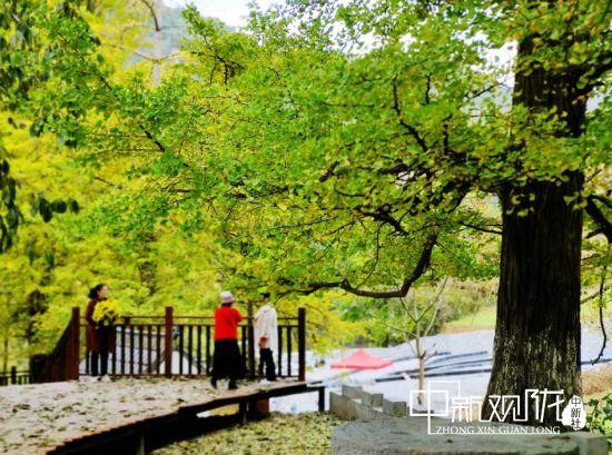 徽县天河村:千年银杏枝叶繁 美丽乡村迎客来